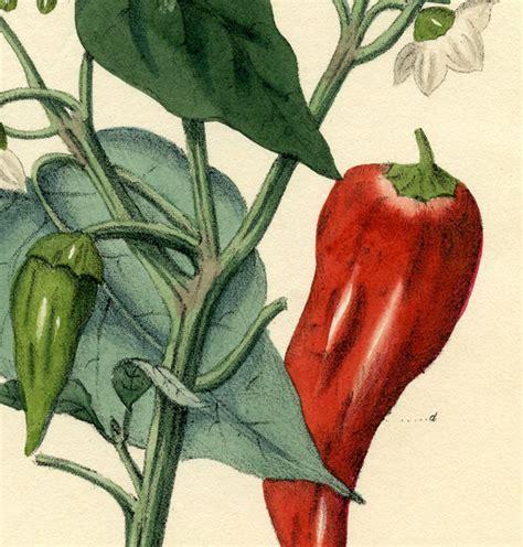 Chili Pepper Botanical Printable   The Graphics Fairy
