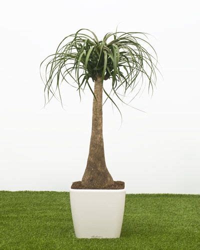 hot office conditions beaucarnea recurvata pony tail palm for your office