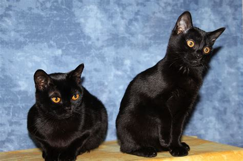 Jual Kater by Amazing Dogs Breeds Bombay Cat
