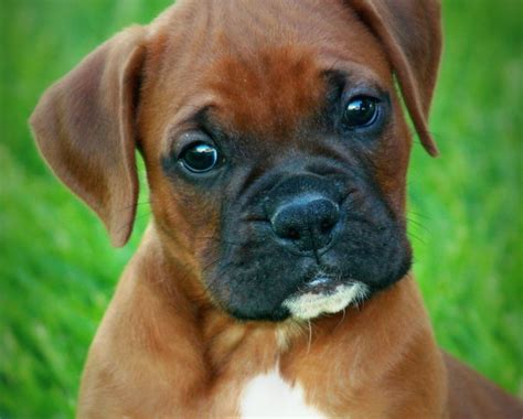 baby boxer puppies fawn boxer fawn free engine image for user manual
