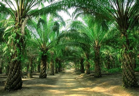 Bussines Opportunity On Palm Industry palm industry exploring business opportunities for smallholders sustainable production