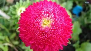 Chrysanthemum by Superb Wallpapers Chrysanthemum Flower