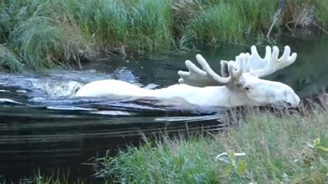 Rusa Putih berita viral satwa langka rusa putih tertangkap kamera