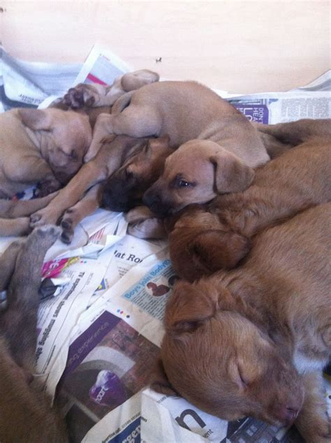 registered rhodesian ridgeback puppies for sale rhodesian ridgeback puppies for sale east dogs and puppies breeds picture