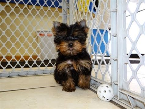 yorkie puppies for sale in nc teacup yorkie puppies for sale in nc breeds picture