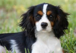 cavalier king charles spaniel puppies for sale akc