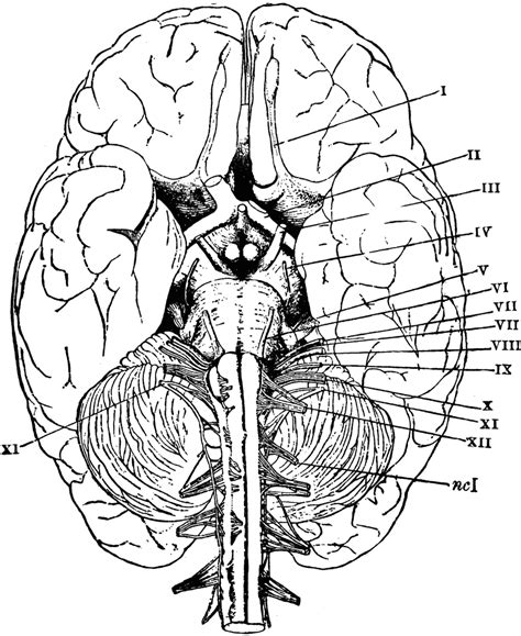 anatomy and physiology coloring workbook chapter 7 cranial nerves anatomy coloring pages for coloring home