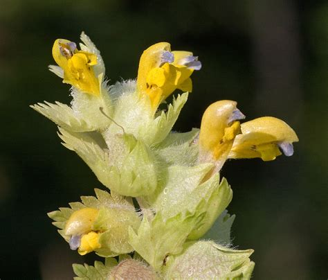 fiore cresta di gallo rhinanthus