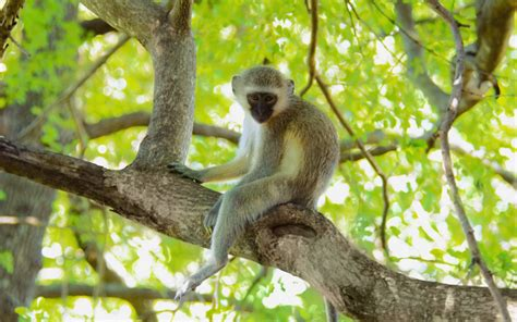 monkey wallpaper for walls vervet monkey wallpaper