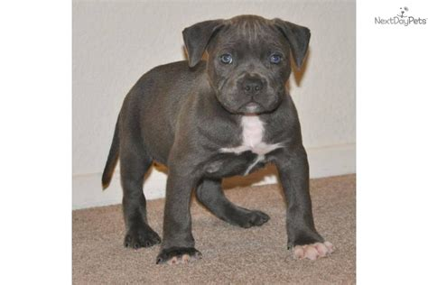 pitbull puppies for sale in ri american pit bull terrier puppy for sale near orange county california 18d89831 d461