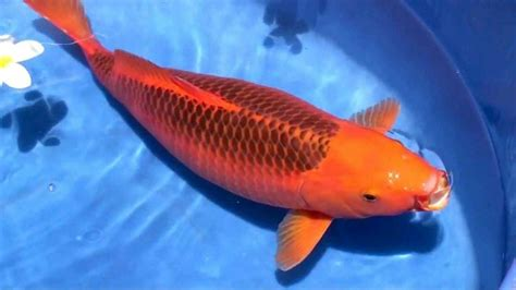 Makanan Ikan Hias Kecil Alami jenis makanan ikan koi agar cepat besar paling uh www