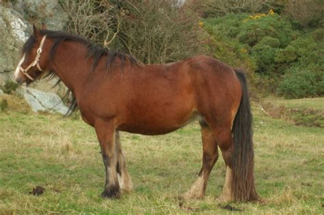 welsh section d cobs for sale welsh cob mares for sale holyhead isle of anglesey