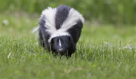 how to get rid of a skunk in your backyard touch activated