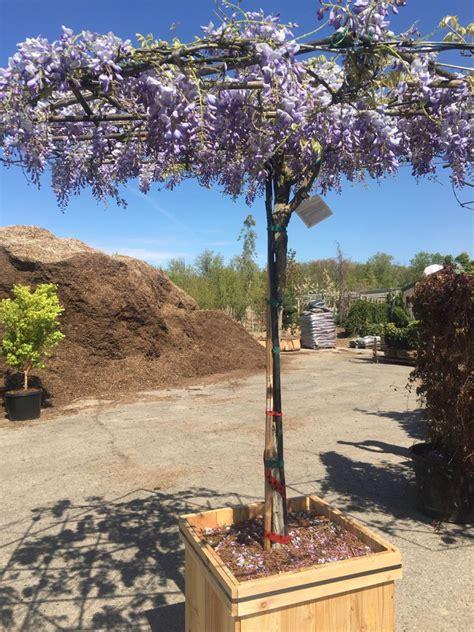 Blauregen Im K Bel 6322 rankhilfe f 252 r blauregen bringt die pflanze richtig zur