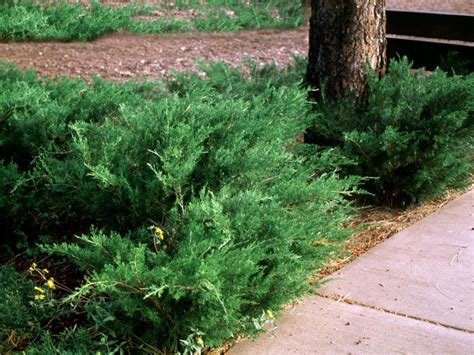 popular landscaping groundcovers and shrubs diy