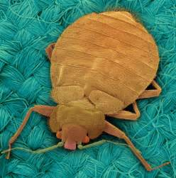 bean leaves bed bugs bean leaves bed bugs want to stop the bedbugs bite the