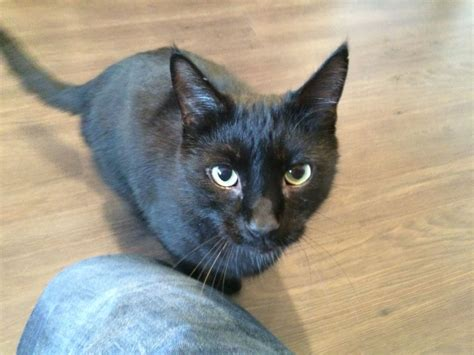 pugs that need rehoming black cat need rehoming duns berwickshire pets4homes