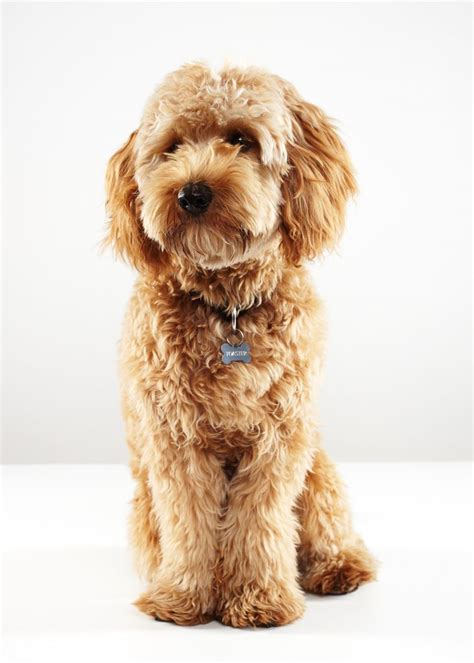labradoodle grooming cuts picture 57 best labradoodle haircut images on pinterest cute