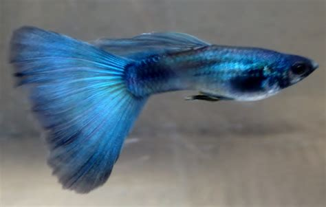 Guppy Blue Moscow Promo buy moscow blue guppy at aquarium warehouse
