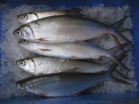 Peluang Usaha Budidaya Ikan Kembung peluang usaha budidaya ikan bandeng dan analisa usahanya agrowindo