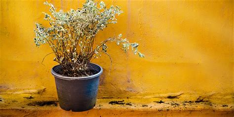 how to revive a dying plant 5 ways to revive a dying plant lifestyle home