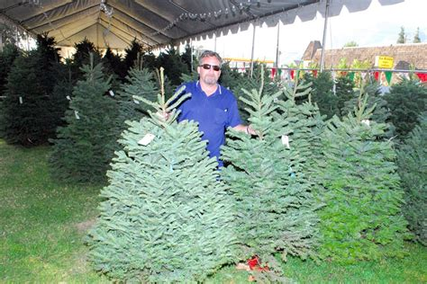 christmas trees in fillmore trees at francis of assisi the fillmore gazette