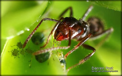 do ants eat aphids do ants eat aphids flickr photo