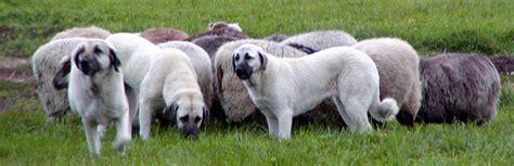 turkish kangal puppies kangal info varieties care pictures