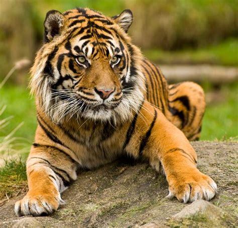 sumatran tiger panthera tigris sumatrae dinoanimalscom