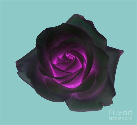 black rose with purple centre on pale turquoise background