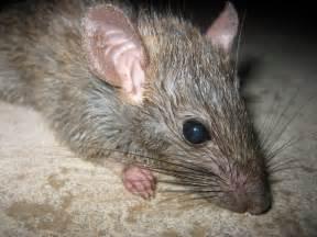 rat animal wildlife