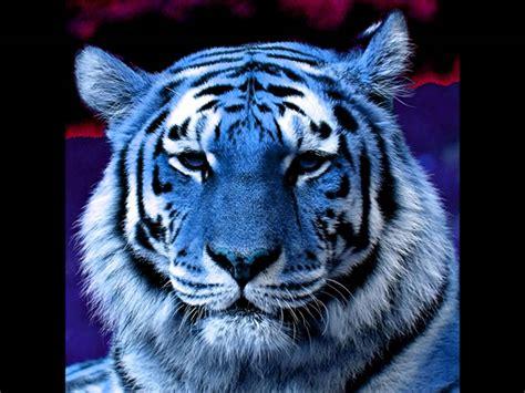 Blue Tiger blue maltese tiger