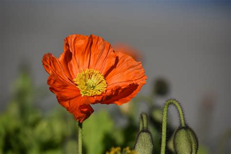 papavero fiore sfondi fiore papavero hd sfondi hd gratis