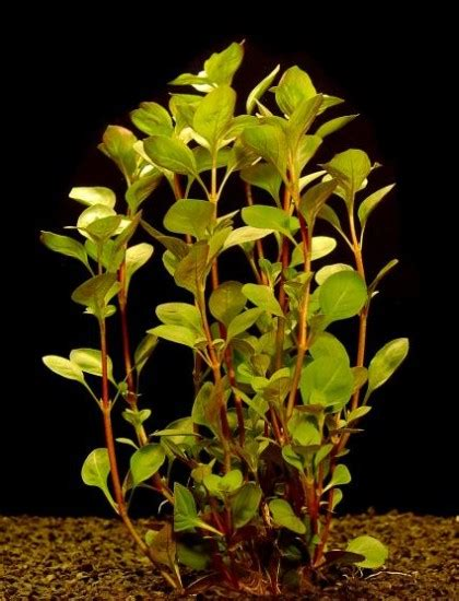 Lu Led Aquazonic ludwigia palustris www pixshark images galleries with a bite