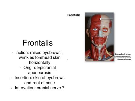 Muscles study guide word doc Frontalis Muscle Origin Insertion Action