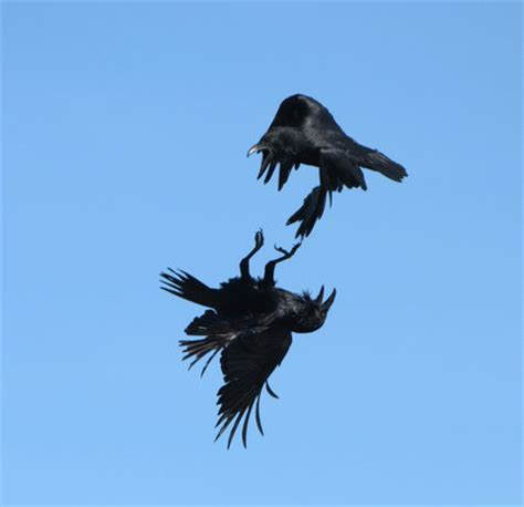 canadian geographic photo club inverted crow