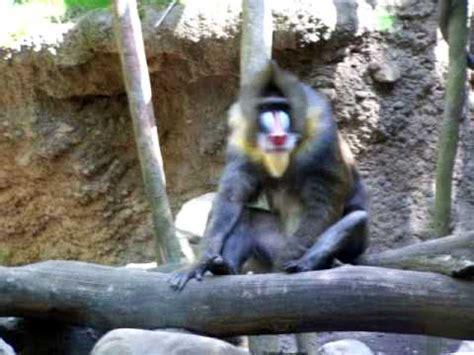 mandrill baboon   shame shows   junk youtube