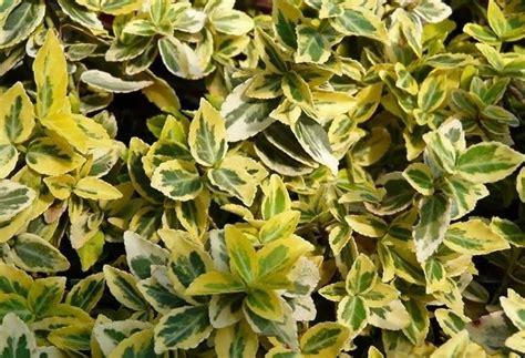 ricanti da terrazzo piante da balcone sempreverdi piante sempreverdi da