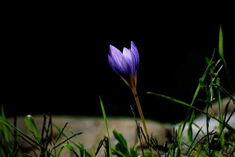 fiore crocus fiori crocus 28 images panoramio photo of i fiori
