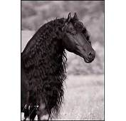 About Horses On Pinterest Friesian Black And White