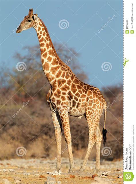 Imagenes De Jirafas Grandes | toro de la jirafa imagen de archivo imagen de puntos