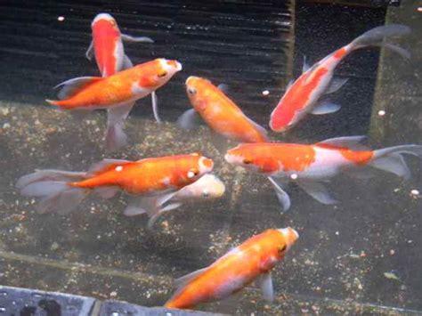 Pakan Ikan Hias Komet ikan hias yang bisa dipelihara tanpa pompa oksigen