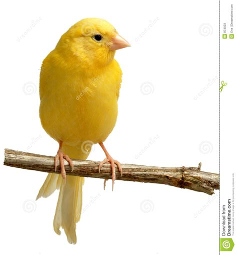 canaries bird yellow stock photos canary stock image image of perch child yellow