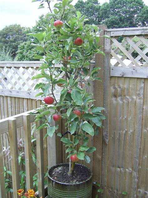 Potted Tree For Patio by Baggieaggie Apple Trees In Pots On Patio Or Deck