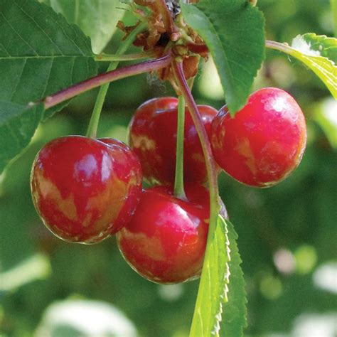 size fruit trees for sale stark 174 surecrop pie cherry cherry trees stark bro s