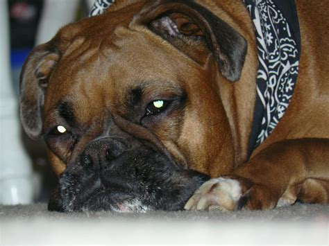 puppy separation anxiety boxer boxer info and health tips