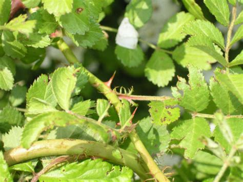Plant Disease Pictures - multiflora rose