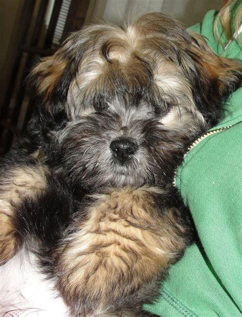 havanese puppies raleigh nc so havanese puppy pets puppys so and havanese puppies