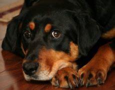 lab rottweiler mix temperament labrottie labrador retriever rottweiler mix info puppies pictures