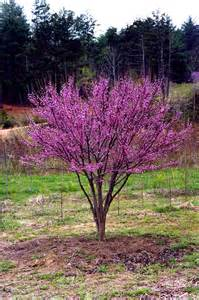 cercis ace of hearts planthaven international